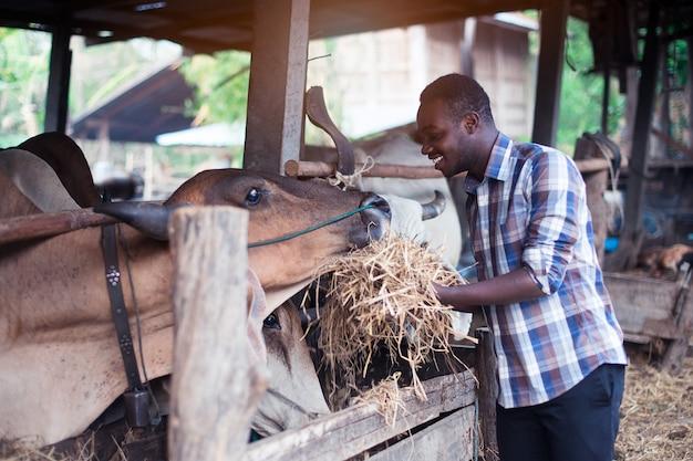 Afrikanischer landwirt, der den kühen im stall trockenfutter gibt