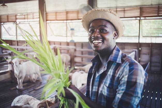 Afrikanischer landwirtmann des lächelns, der gras für die fütterung von schafen hält