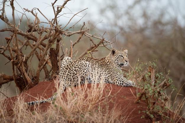 Afrikanischer leopard, der auf dem felsen ruht