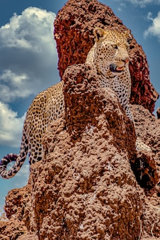 Afrikanischer leopard, der eine felsige klippe unter einem bewölkten himmel klettert