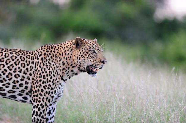 Afrikanischer leopard, der wütend auf den feldern des afrikanischen dschungels gefangen brüllt