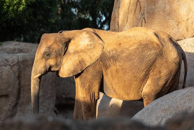 Afrikanischer savannen-elefanten-look, loxodonta africana, während sie durch einen zoo gehen.