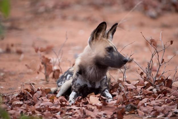 Afrikanischer wilder hund, der auf dem boden mit einem unscharfen hintergrund ruht