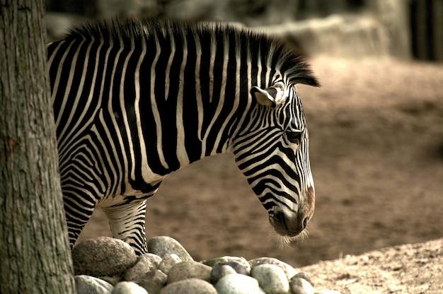 Afrikanischer zebra