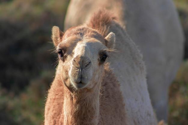 Afrikanisches kamel in der namib-wüste. lustige nahaufnahme. namibia, afrika