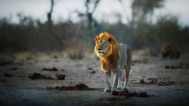 Afrikanisches löwenporträt im warmen licht
