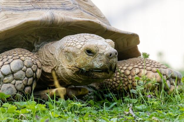 Afrikanisches spornschildkröten-nahaufnahmeporträt