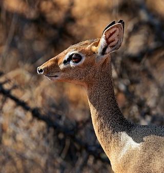 Afrikanskfy dik-dik wildziege in ihrem natürlichen lebensraum. kenia.