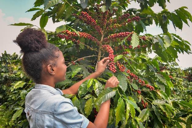 Afroamerikanerin, die arabica-kaffeebohnen auf dem kaffeebaum in seiner farm sammelt