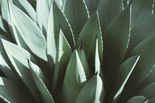 Agave parryi großansicht
