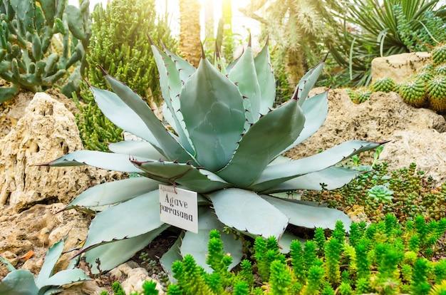 Agave wächst in der wüste zwischen sand und steinen.