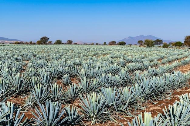 Agaven-tequila-pflanze auf den feldern von jalisco