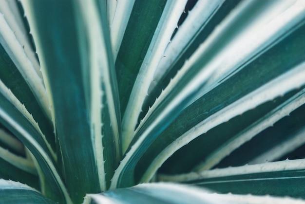 Agavenblätter mit blauen streifen