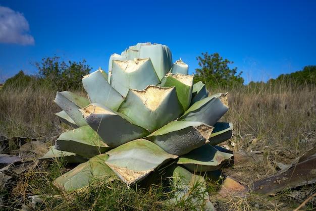 Agavenpitera geschnittene pflanze aus mediterranem kern