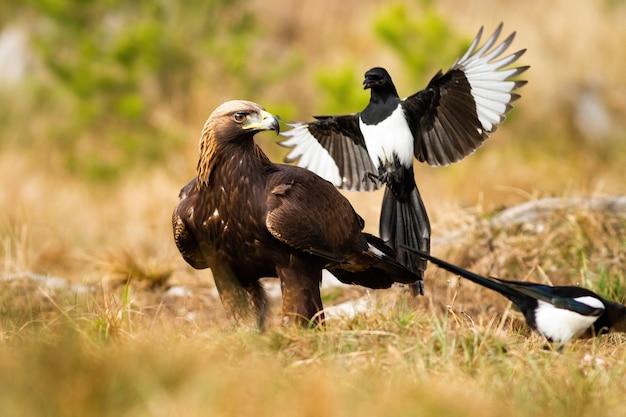 Aggressive eurasische elster greift steinadler im flug an