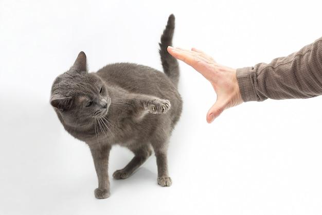 Aggressive graue katze streckte eine pfote mit krallen an der menschlichen hand aus