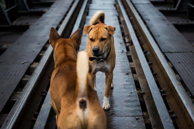 Aggressive hunde starren und kämpfen auf der eisenbahn