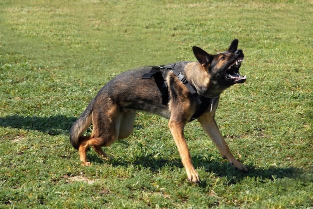 Aggressiver deutscher schäferhund