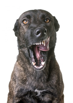 Aggressiver holländischer schäferhund im studio