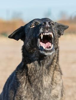 Aggressiver holländischer schäferhund