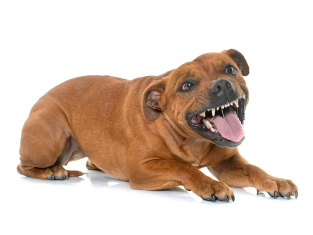 Aggressiver stafforshire-bullterrier