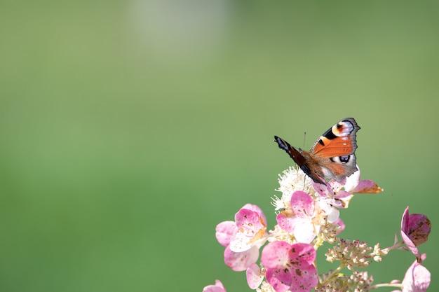 Aglais io schmetterling auf einer hortensienblume. selektiver fokus.