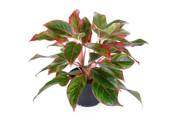 Aglaonema bescheidene zimmerpflanze mit rosa blättern im schwarzen blumentopf