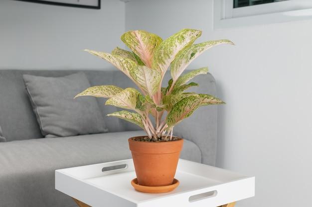 Aglaonema laksap im tontopf auf holztisch im wohnzimmer. luftreinigungsanlagen für den innenbereich.