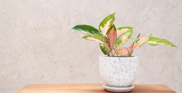 Aglaonema zimmerpflanze (chinese evergreen) im modernen weißen und schwarzen keramikbehälter auf holztisch mit zementwandhintergrund