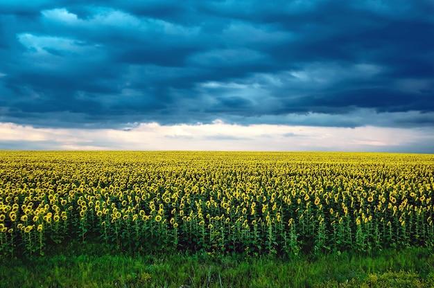 Agrarlandschaft mit sonnenblumenfeld und sturmwolken auf majestätischen dunklen wolken des sonnenuntergangs im himmel. mächtige blaue wolken vor einem sturm auf dem feld mit gelben sonnenblumen, die in den sonnenuntergang gehen