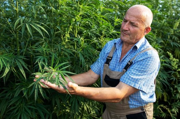 Agronom, der die qualität von cannabis- oder hanfpflanzen auf dem feld überprüft.