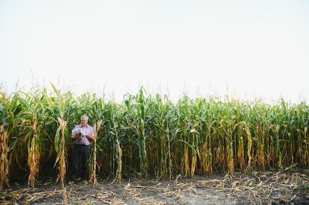 Agronom steht in seinem wachsenden maisfeld. er untersucht maiskulturen nach erfolgreicher aussaat.