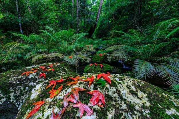 Ahorn und grüner farn im strom im regenwald.