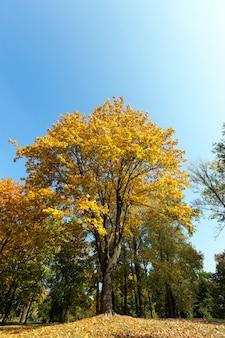Ahornbäume verfärben sich im herbst mit gelben blättern