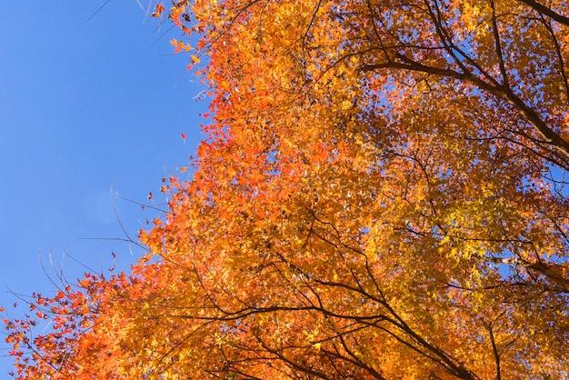 Ahornbaum im herbst mit blauem himmel