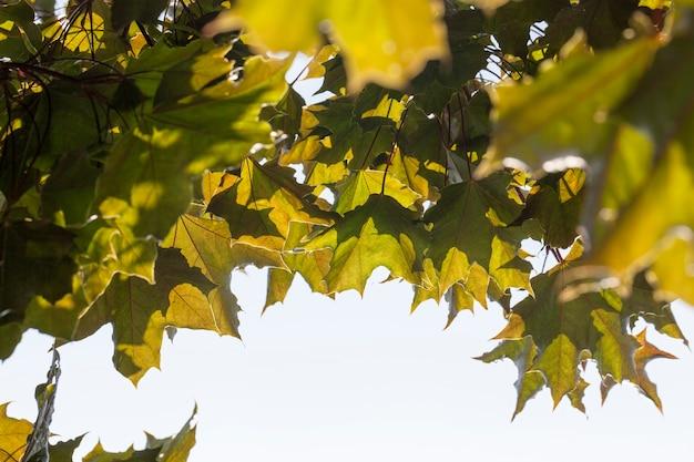 Ahornbaum wächst in der natur, ahorn im sommer mit laub an den ästen