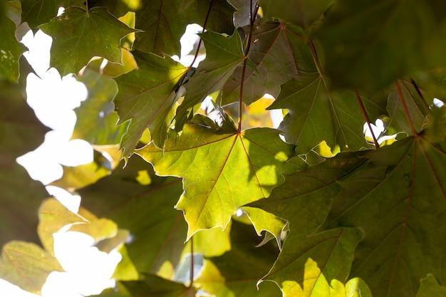 Ahornbaum wächst in der natur