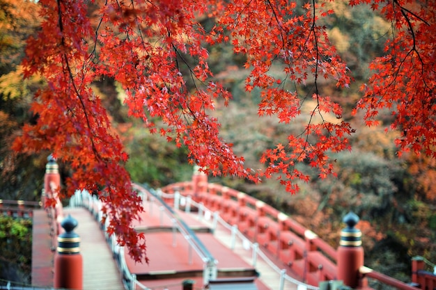 Ahornblätter ändern ihre farbe, herbstsaison bei tokio in japan