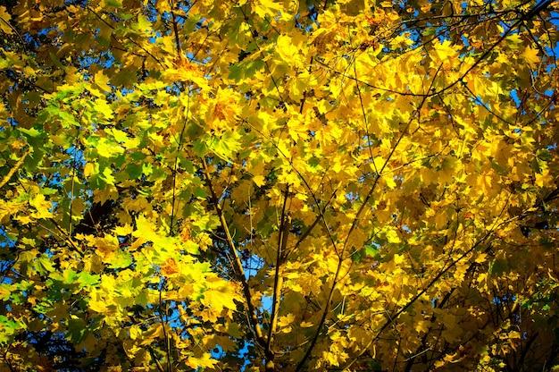 Ahornblätter auf einem hintergrund des blauen himmels