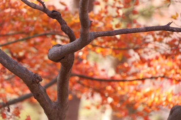 Ahornblätter im frühjahr