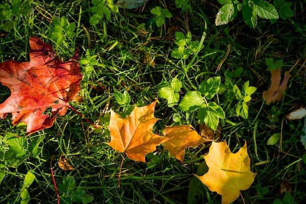 Ahornblätter im sonnenlicht auf dem gras. herbst natürlicher hintergrund. gefallene herbstblätter auf dem boden