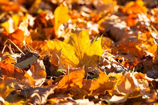 Ahornblätter in der herbstsaison, jahreszeitliche veränderungen in der natur werden von hellem sonnenlicht beleuchtet