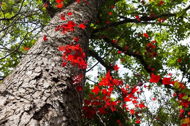 Ahornblatt an nationalpark phukradung, thailand