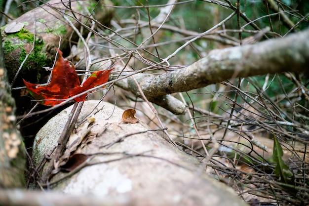 Ahornblatt auf dürrenholz mit selektivem und nahem hohem schuss.