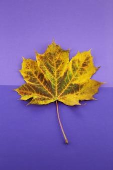 Ahornblatt auf einem kombinierten purpurroten hintergrund