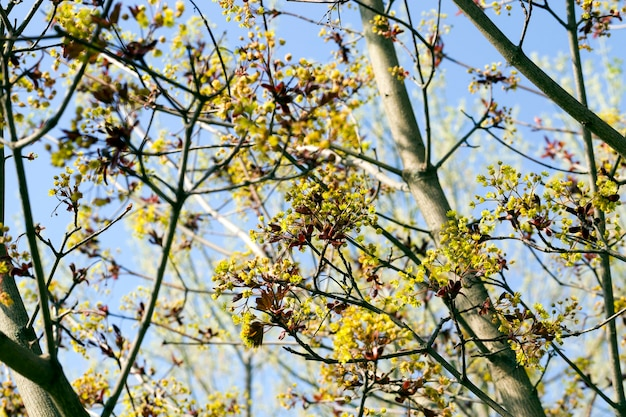 Ahornblumen