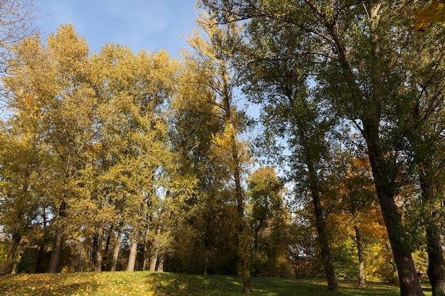 Ahornlaub im herbstblattfall, ahorn mit wechselndem rötungsblatt nahaufnahme, schöne natur mit wildem ahornbaum