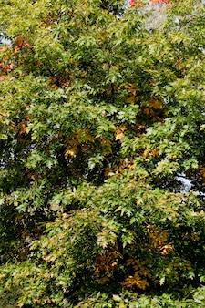 Ahornlaub in der herbstsaison während des blattfalls, ahorn mit wechselnder rötender blattnahaufnahme, schöne natur mit einem einfachen ahornbaum