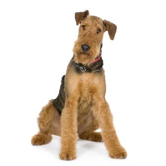 Airedale terrier mit 1 jahr. hundeporträt isoliert