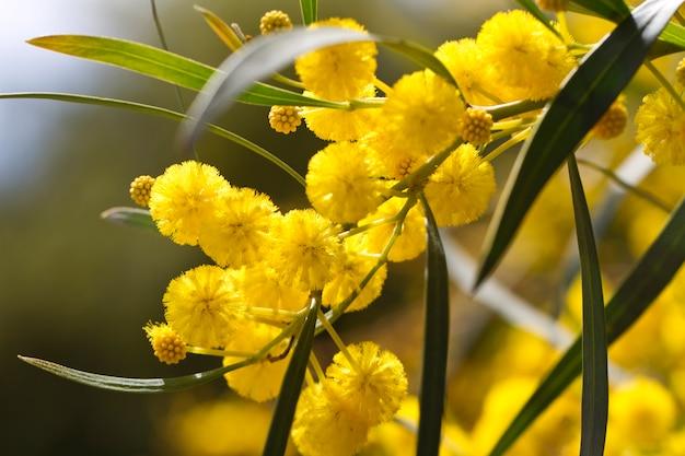 Akazienbäume